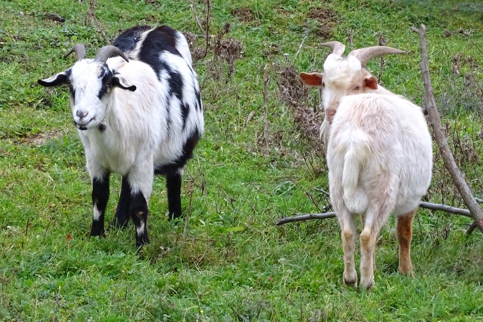 Piąta fotografia prezentuje dwie kozy na stojące na trawie. Pierwsza biała stoi odwrócone tyłem, druga biała wczarne łaty stoi przodem.