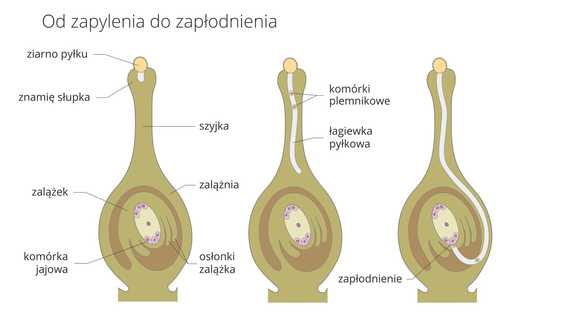 Ilustracja przedstawia trzy rysunki przekrojów przez słupek rośliny okrytonasiennej. Oznaczają one kolejne fazy od zapylenia do zapłodnienia. Słupek ma kolor jasnobrązowy. Osłonki zalążka są ciemniej brązowe. Komórkę jajową oznaczono kolorem liliowym. Na słupku pierwszym zlewej znajduje się żółte ziarno pyłku. Wyrasta zniego wgłąb słupka jasna łagiewka pyłkowa. Wszystkie elementy są opisane.