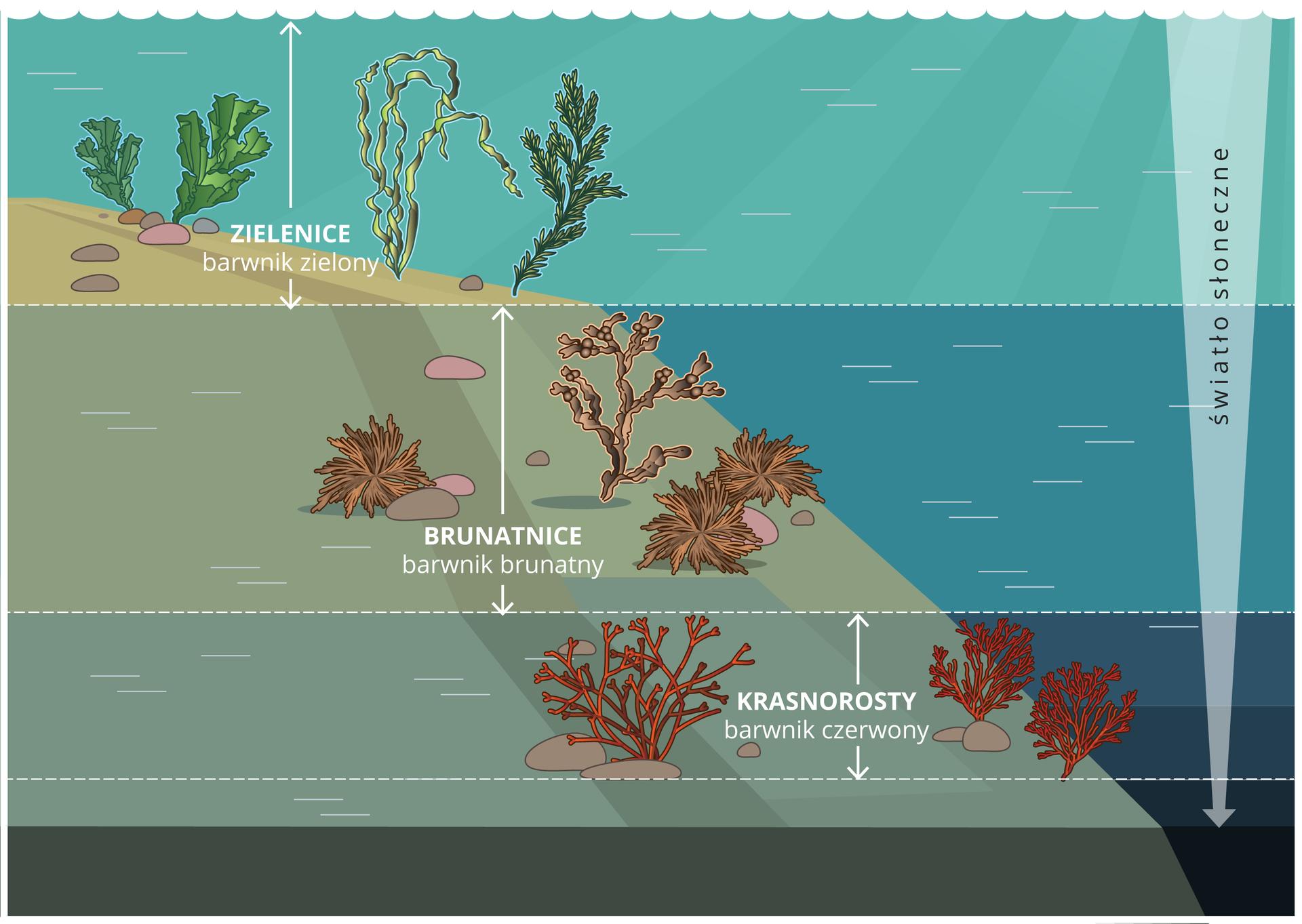 Ilustracja przedstawia dno morza przy brzegu, zalane wodą. Wtrzech warstwach, oddzielonych białą przerywaną linią na różnej głębokości zaznaczono glony oróżnych kształtach ikolorach. Najwyżej, czyli tuż pod powierzchnią wody rosną trzy zielenice. Niżej znajdują się trzy grupy brunatnic. Najniżej rosną trzy zabarwione na czerwono krasnorosty. Strzałka po prawej, zwężająca się do dołu wskazuje ilość światła słonecznego, które dociera do kolejnych warstw. Najniżej jest go najmniej.