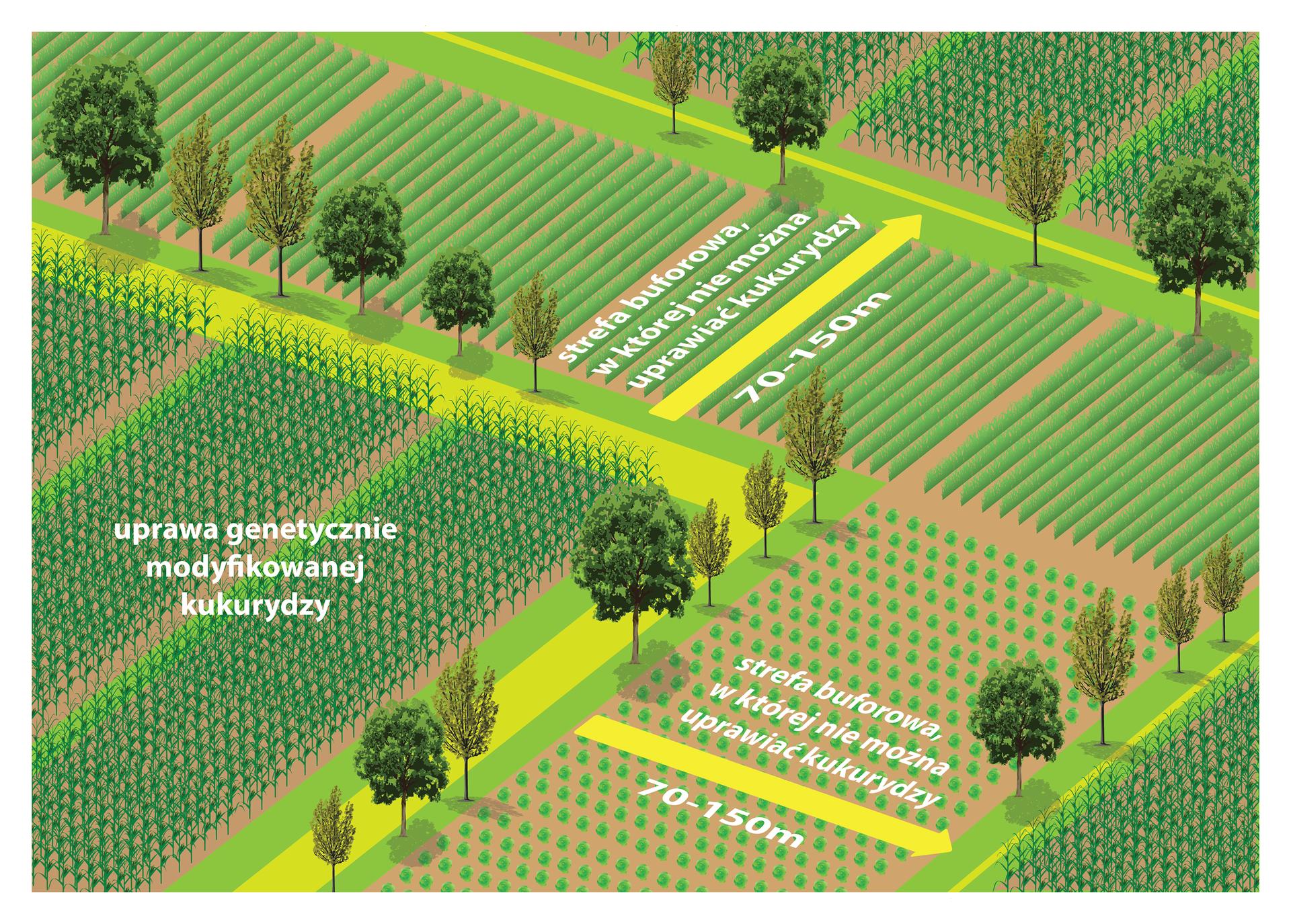 Ilustracja przestawia schemat pól uprawnych wkolorach różowym ibeżowym. Na ilustracji umieszczono także wizerunki drzew między polami. Po lewej stronie znajduje się fragment pola zgenetycznie modyfikowaną kukurydzą. Na polach obok niej znajdują się żółte strzałki zinformacją oodległości 70 do 150 metrów od innych upraw.