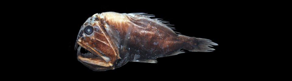 Ilustracja przedstawia rybę głębinową. Tło czarne. Ryba brązowo-szara. Głowa kilkukrotnie większa od ogona. Duży aparat gębowy, szczęki rozwarte. Płetwy piersiowe ibrzuszne - krótkie. Nieregularna płetwa grzbietowa.
