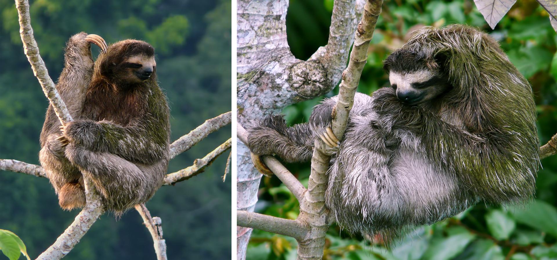 Obie fotografie przedstawiają szare leniwce, siedzące na drzewach. Zwierzęta mają częściowo zieloną od glonów sierść, zwłaszcza na ramionach. Ten po lewej swoimi długimi pazurami drapie się po głowie. Ten po prawej pazurami trzyma się gałęzi.