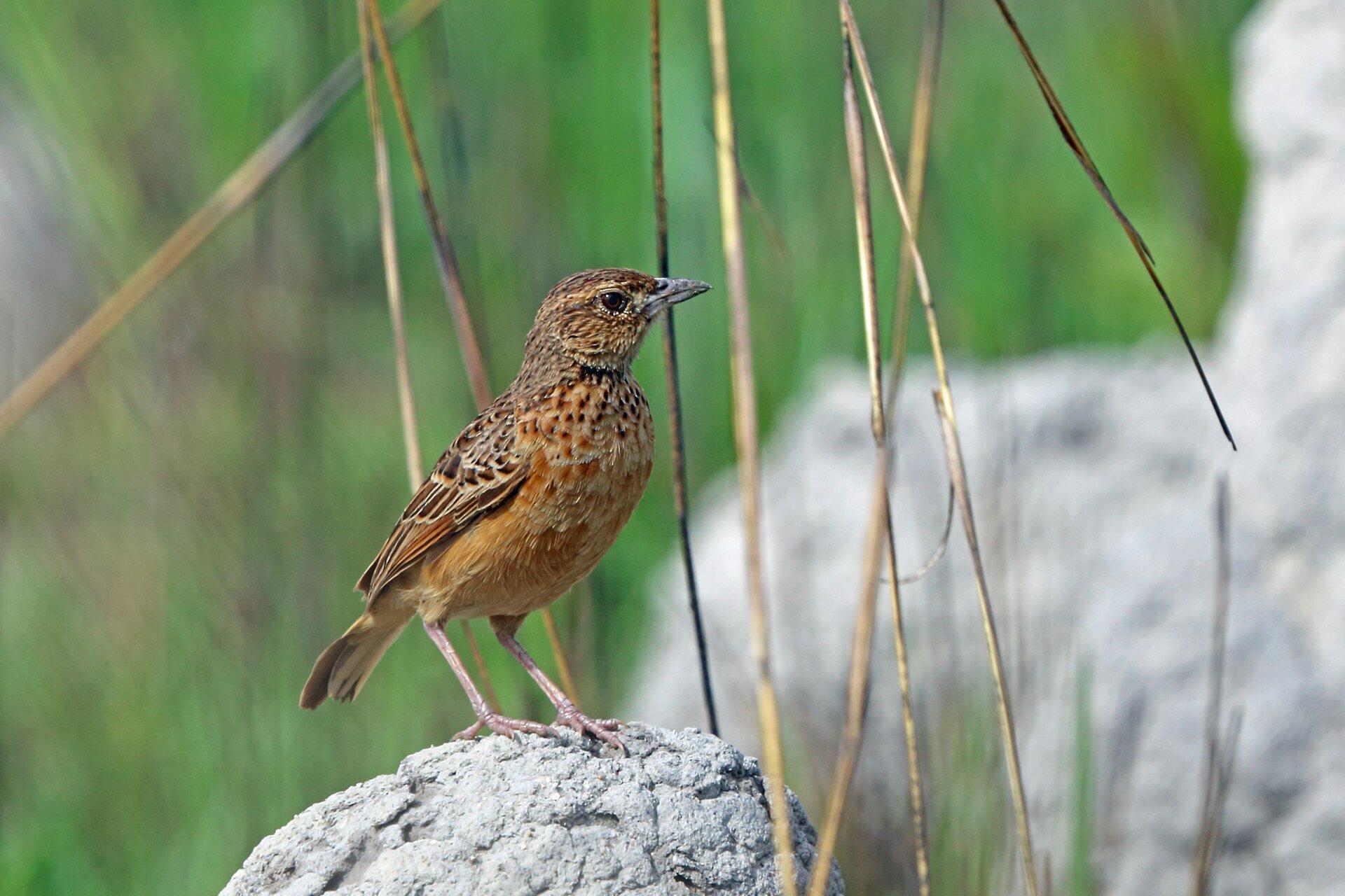 Fotografia przedstawia wzbliżeniu skowronka, stojącego na ziemi na cienkich nogach. Ptak ma szary brzuch ibrązowo nakrapiany grzbiet iskrzydła. Głowa wprawo, widoczne duże czarne oko ikrótki, cienki dziób.