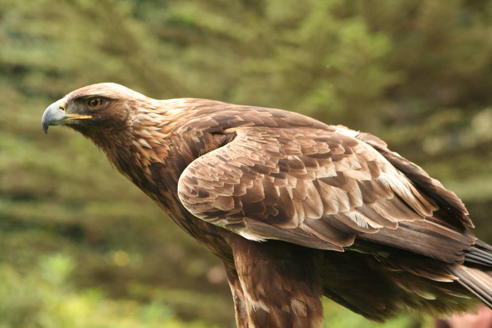 Fotografia przedstawia brązowego plamistego orła przedniego zmasywnym dziobem. Jego strefa ochronna to 200 metrów od gniazda. Wokresie od 1 stycznia do 15 sierpnia obowiązuje zwiększona do 500 metrów od gniazda strefa ochrony częściowej.