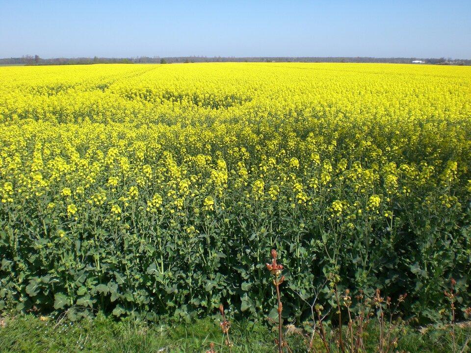 Na zdjęciu rozległe pole rzepaku, kwitnącego na żółto.
