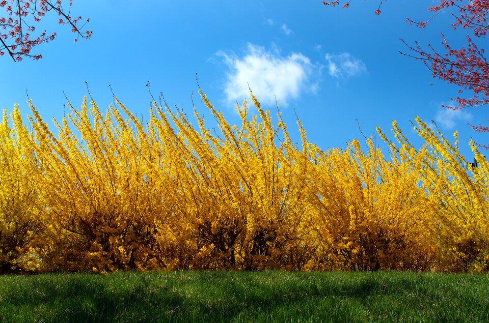 Fotografia prezentuje liczne krzewy kwitnącej na żółto forsycji.
