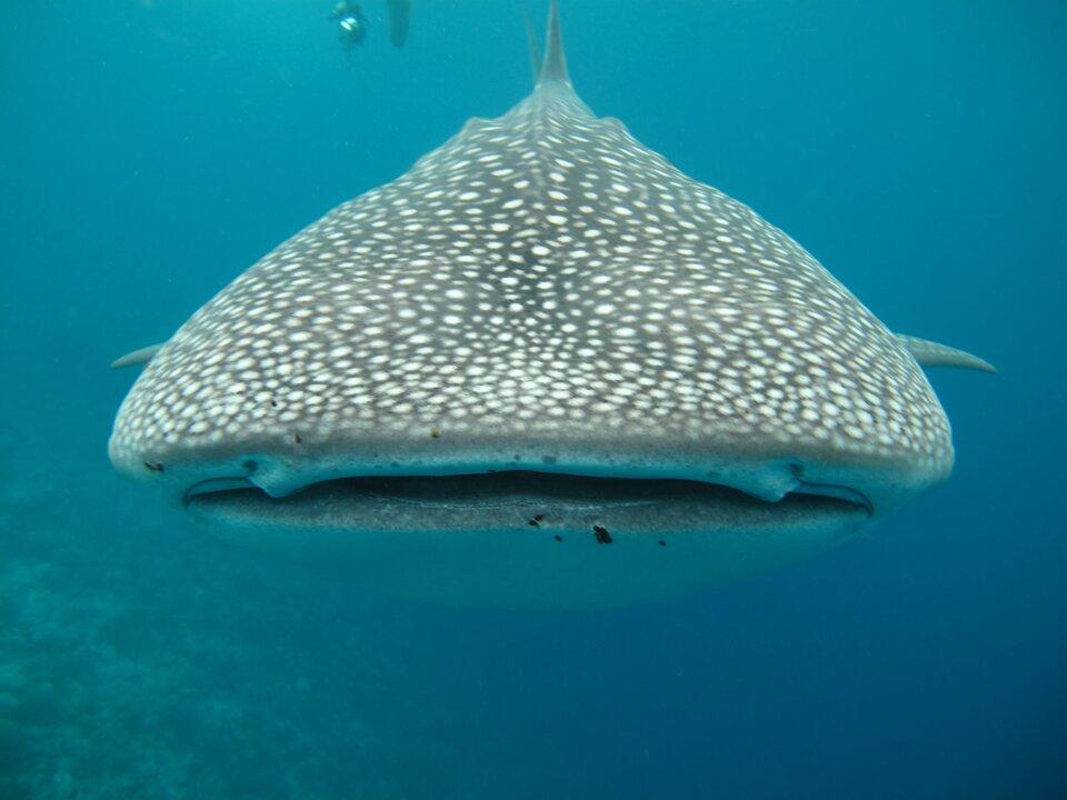 Fotografia przedstawia wtoni od przodu głowę rekina wielorybiego. Ma kształt trójkąta, zniewielkimi płetwami ugóry ipo bokach. Udołu ciemna, otwarta szczelina pyska. Oczy niewidoczne na skórze szarej wgęste, białe plamki.