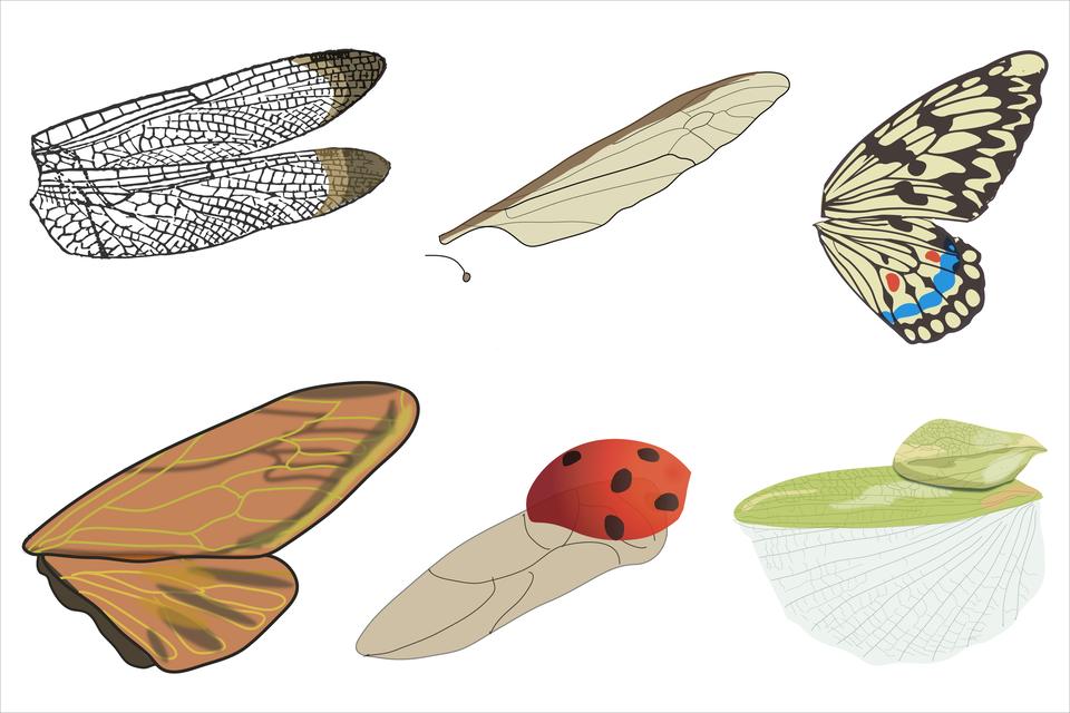 Ilustracja zawiera sześć rysunków wdwóch rzędach: skrzydła owadów. Wgórnym rzędzie pierwszy zlewej przedstawia dwa wydłużone owalne skrzydła równej wielkości, skierowane beżowo – brązowymi końcami wprawo. Są gęsto pokryte siatką czarnych żyłek. Drugi rysunek to szarobeżowe skrzydło lekko ukosem wprawo, przy górnej krawędzi brązowe. Żyłki rzadsze, mniej wyraźne. Pod nim drugie, zredukowane skrzydło - wygięta pałeczka. Trzeci rysunek przedstawia dwa wachlarzowate skrzydła, jedno pod drugim. Górne jest większe. Oba są wciemne ijasne plamy imają liczne żyłki. Na dolnym skrzydle przy krawędzi rząd błękitnych plamek. Wlewo dwie mniejsze czerwone kropki. Wdolnym rzędzie zlewej wachlarzowate, beżowe skrzydła zżółtymi żyłkami. Na obu szare smugi. Górne większe, dolne na krawędzi zlewej ma ciemne zgrubienie. Wśrodku szare skrzydło znielicznymi żyłkami, skierowane wlewo. Na nim leży górne skrzydło wkształcie czapeczki, czerwone wczarne kropki. Rysunek zprawej przedstawia dwa skrzydła, skierowane wlewo. Górne mniejsze, wkształcie rombu, seledynowe zdelikatnymi żyłkami. Pod nim skrzydło składające się zdwóch części. Wydłużona, seledynowa górna część skrzydła ku dołowi przechodzi wszarawy wachlarzyk zlicznymi, delikatnymi żyłkami.