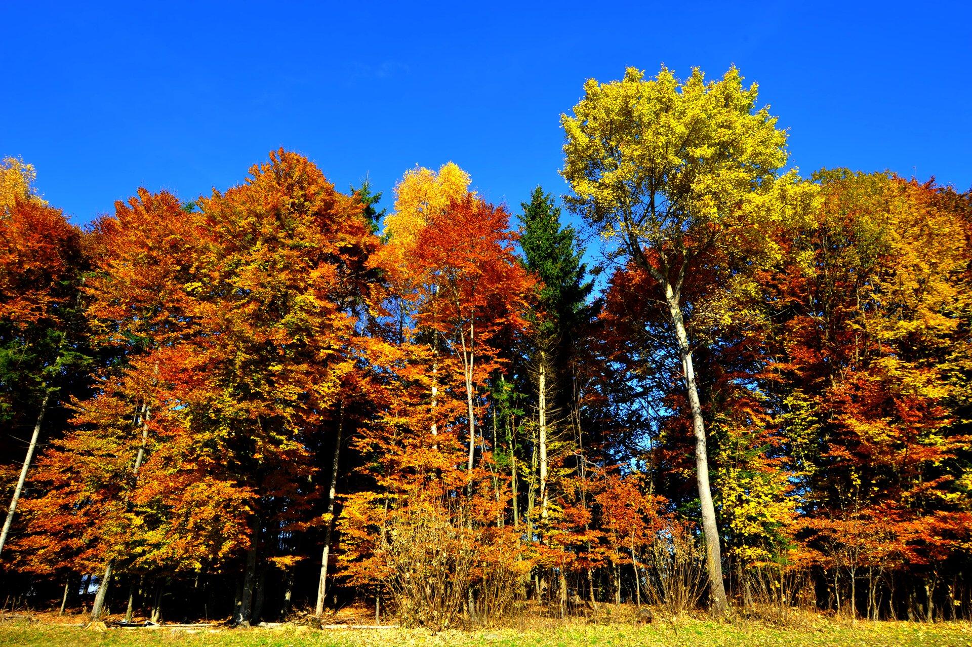 Zdjęcie krajobraz lasu liściastego strefy umiarkowanej wokresie zrzucania liści. Liście na drzewach wkolorach żółtych, czerwonych, brązowych izielonych. Słoneczny dzień, błękitne niebo.