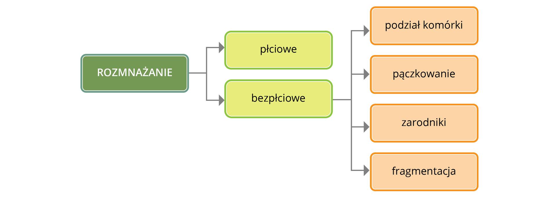 Ilustracja przedstawia kolorowe czworokąty ztekstem osposobach rozmnażania. Zielony zlewej ma napis rozmnażanie. Od niego dwie strzałki wskazują dwa żółte prostokąty jeden pod drugim, opisane: płciowe ibezpłciowe. Od dolnego prowadzą cztery strzałki do różowych prostokątów po prawej. Od góry opisano wnich sposoby rozmnażania bezpłciowego: podział komórki, pączkowanie, zarodniki, fragmentacja.