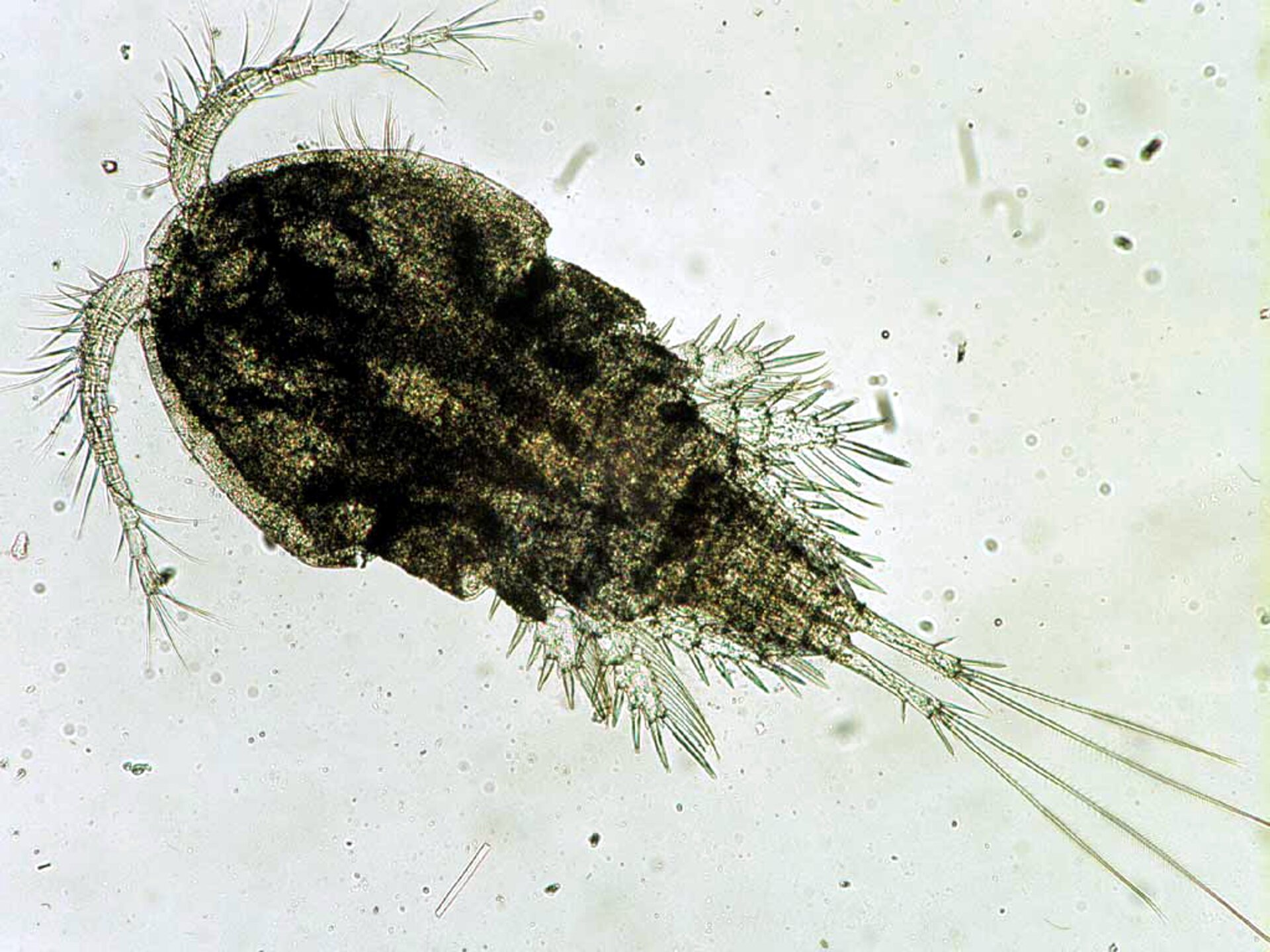 Wgalerii znajdują się fotografie przedstawicieli skorupiaków. Fotografia mikroskopowa przedstawia leżącego ukosem, owalnego oczlika. Jest szary zciemniejszymi plamami. Wlewym górnym rogu dwa rozgałęzione czułki, służące do pływania. Przezroczyste odnóża krótkie, bliżej końca ciała. Odwłok wyciągnięty wpodłużne części.