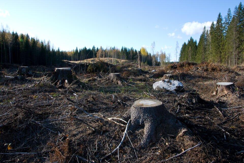 Na zdjęciu pnie po skoszonych drzewach. Wtle las iglasty.