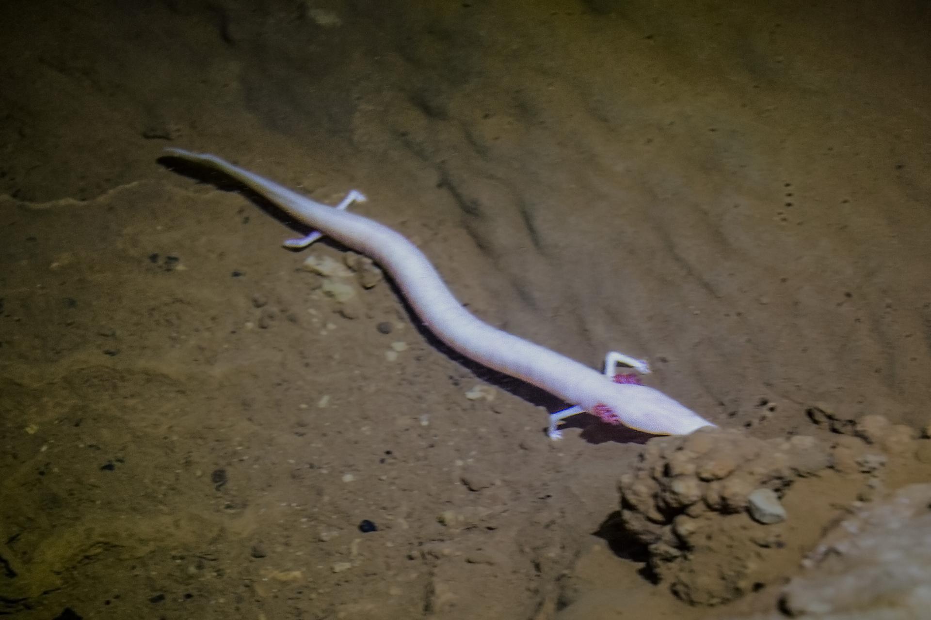 Fotografia przedstawia długie, jasnoróżowe, robakowate, czworonożne ciało odmieńca leżącego na dnie jaskini. Odmieniec wsunął głowę pod kamienie.