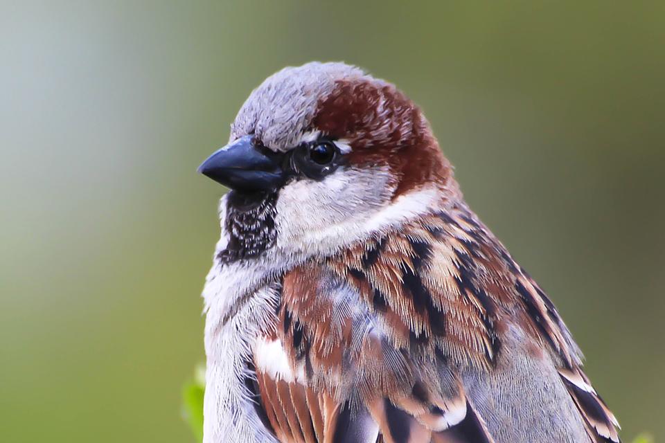 Fotografia przedstawia zbliżenie głowy szaro- brązowego wróbla, czarny, krótki, gruby dziób wlewo.