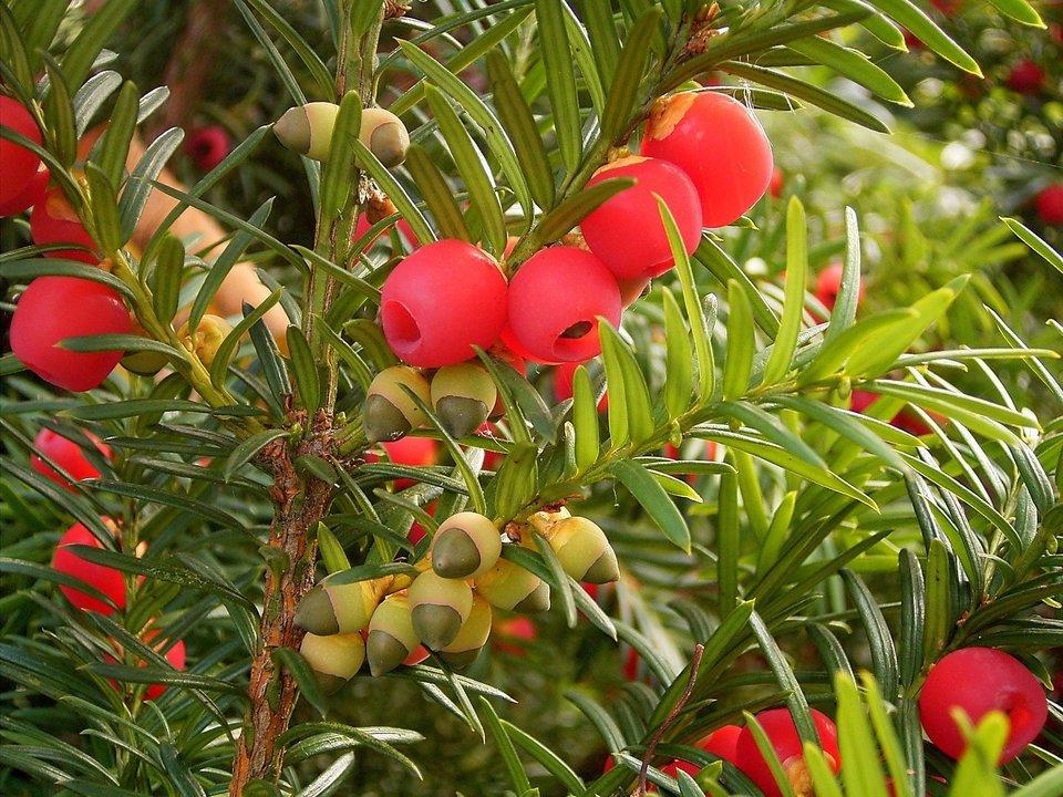 Galeria zdjęć prezentująca rośliny trujące. Pierwsze zdjęcie przedstawia czerwone szyszkojagody cisu.