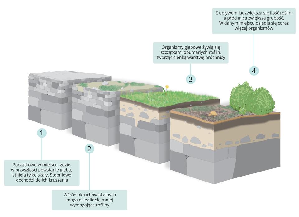 Ilustracja przedstawia cztery etapy powstawania gleby: pierwszy etap – kruszenie litej skały, drugi etap – zasiedlanie skał przez organizmy pionierskie, trzeci etap – tworzenie próchnicy, czwarty etap – zasiedlanie grubej warstwy próchnicy przez krzewy, drzewa iinne organizmy.