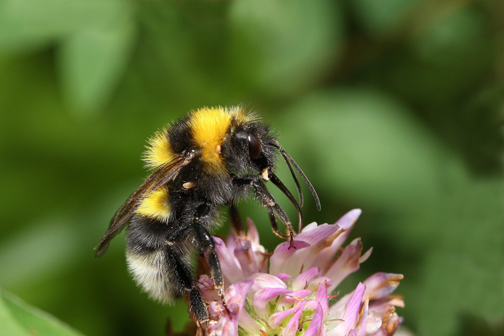 Ilustracja przedstawia pszczołę siedzącą na kwiatku.