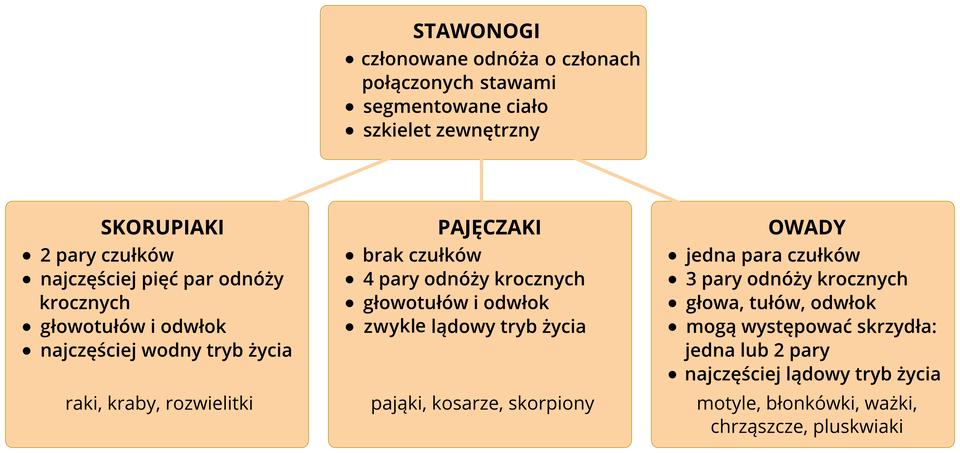 Schemat przedstawia podział stawonogów na trzy grupy: skorupiaki, pajęczaki, owady. Wpomarańczowych czworokątach znajdują się syntetyczne opisy każdej zgrup. Pod każdą zgrup dodatkowo pomarańczowe tabliczki znazwami grup, które będą dalej opisywane.