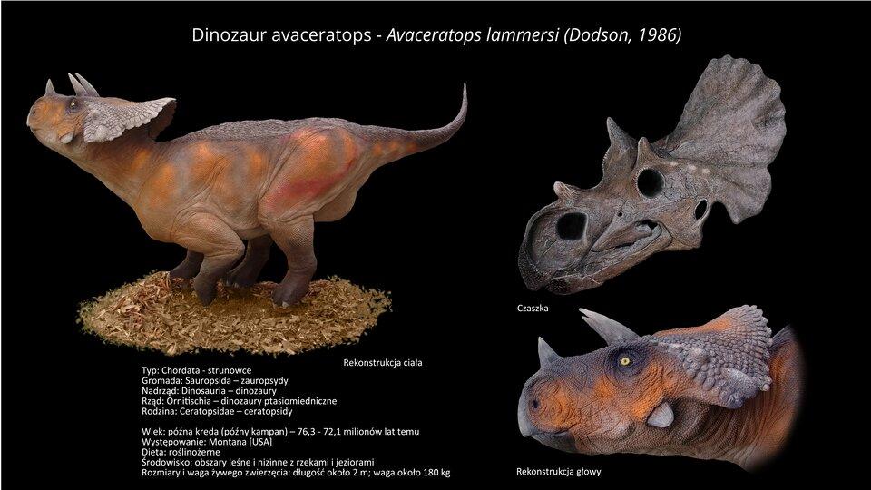 Na ilustracji model dinozaura rogatego. Zlewej strony rekonstrukcja ciała, zprawej strony czaszka irekonstrukcja głowy. Bezzębny, przypominający papuzi dziób, na dziobie róg. Nad oczami rogi średniej wielkości. Na głowie kryza. Długość dinozaura dwa metry.