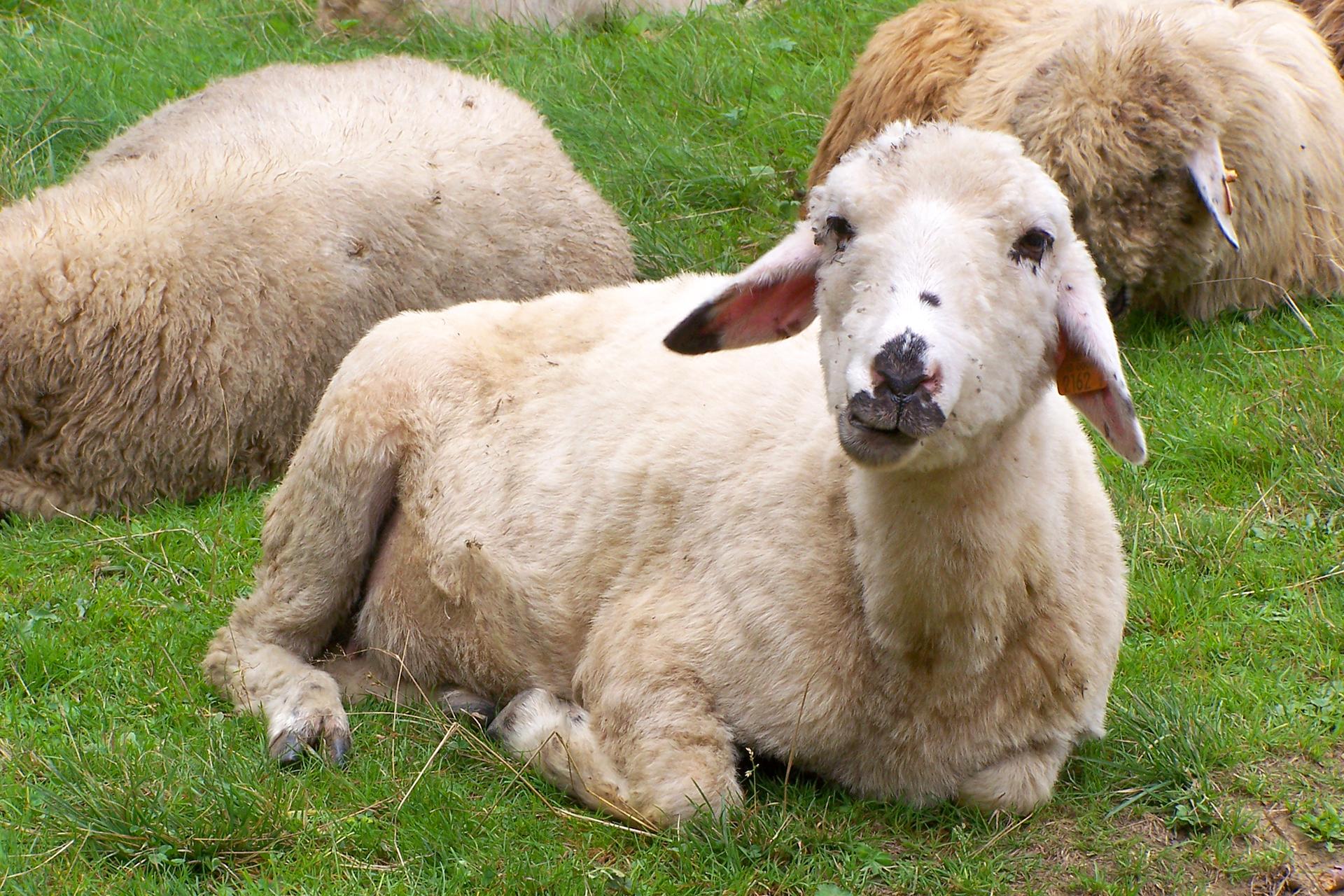 Trzecia fotografia lezące na trawie białe owce.