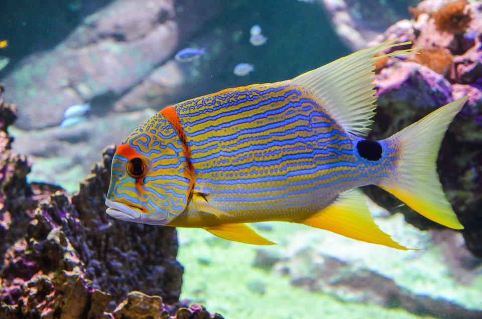 Fotografia prezentuje pływającą rybę akwariową wżółto niebieskie paski.