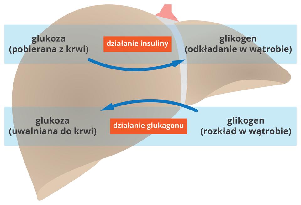 Ilustracja przedstawia wątrobę oraz schemat działania insuliny iglukagonu.