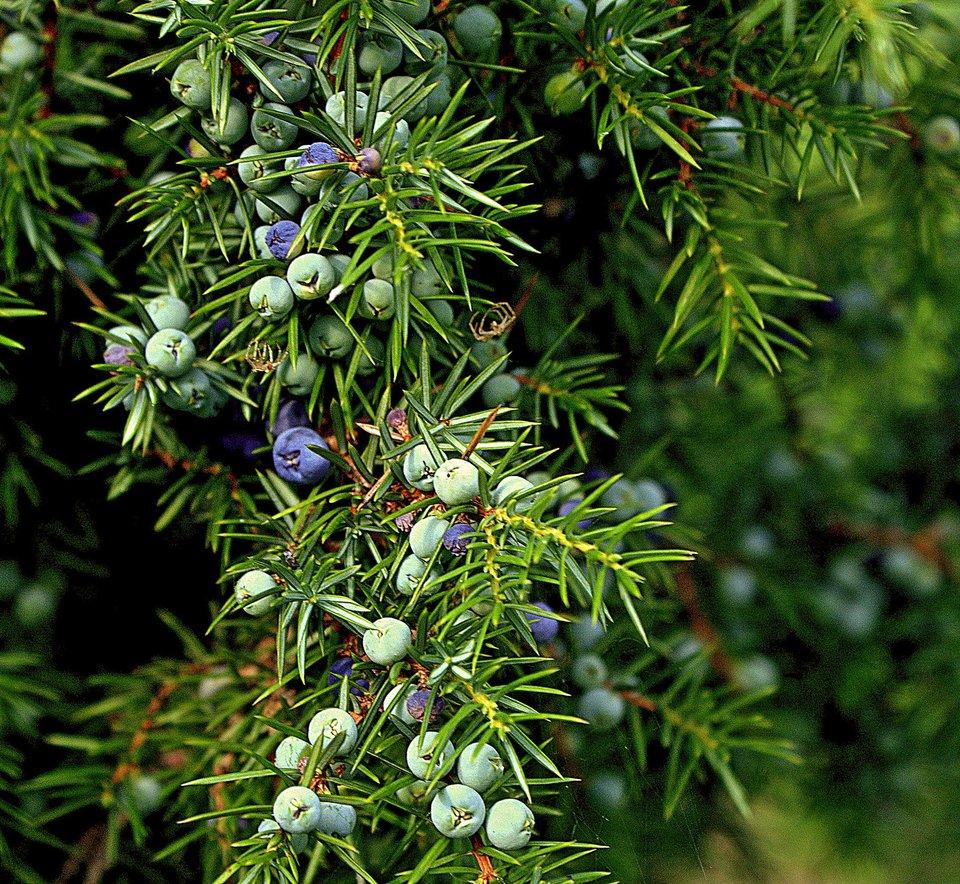 Fotografia przedstawia pęd jałowca zwieloma niebieskimi kwiatostanami zwanymi szyszkojagodami. Są okrągłe iwyrastają pomiędzy igłami zfioletowo-brązowego, mocno rozgałęzionego pędu. Liście - igły - krótkie, grube, ostre, gęsto ułożone na gałązkach.
