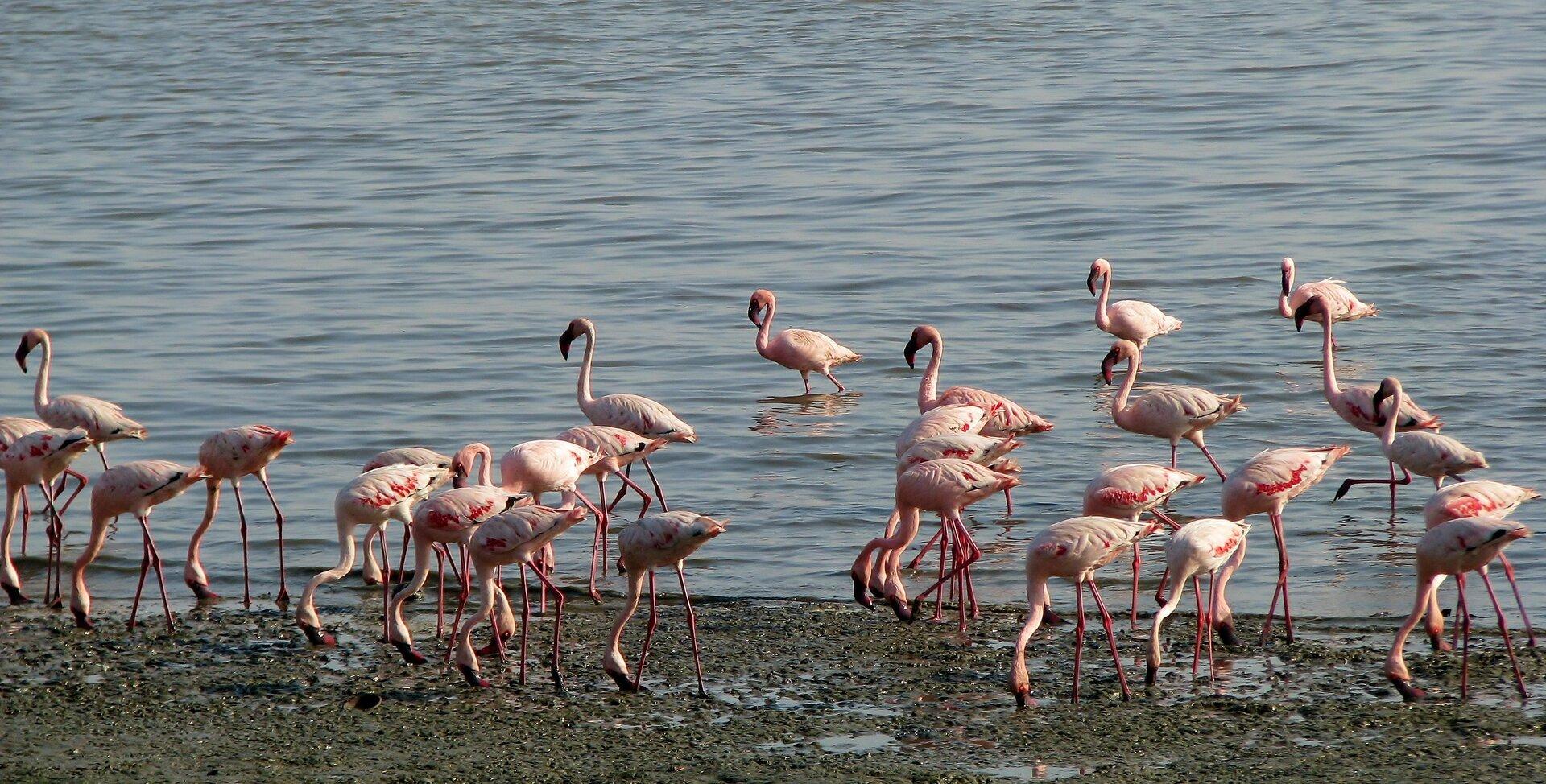 Fotografia prezentuje stado flamingów na brzegu dużego jeziora. Flamingi, to ptaki owysokich czerwonych nogach, białoróżowym upierzeniu oraz długiej szyi zakończonej czerwonym zakrzywionym dziobem.