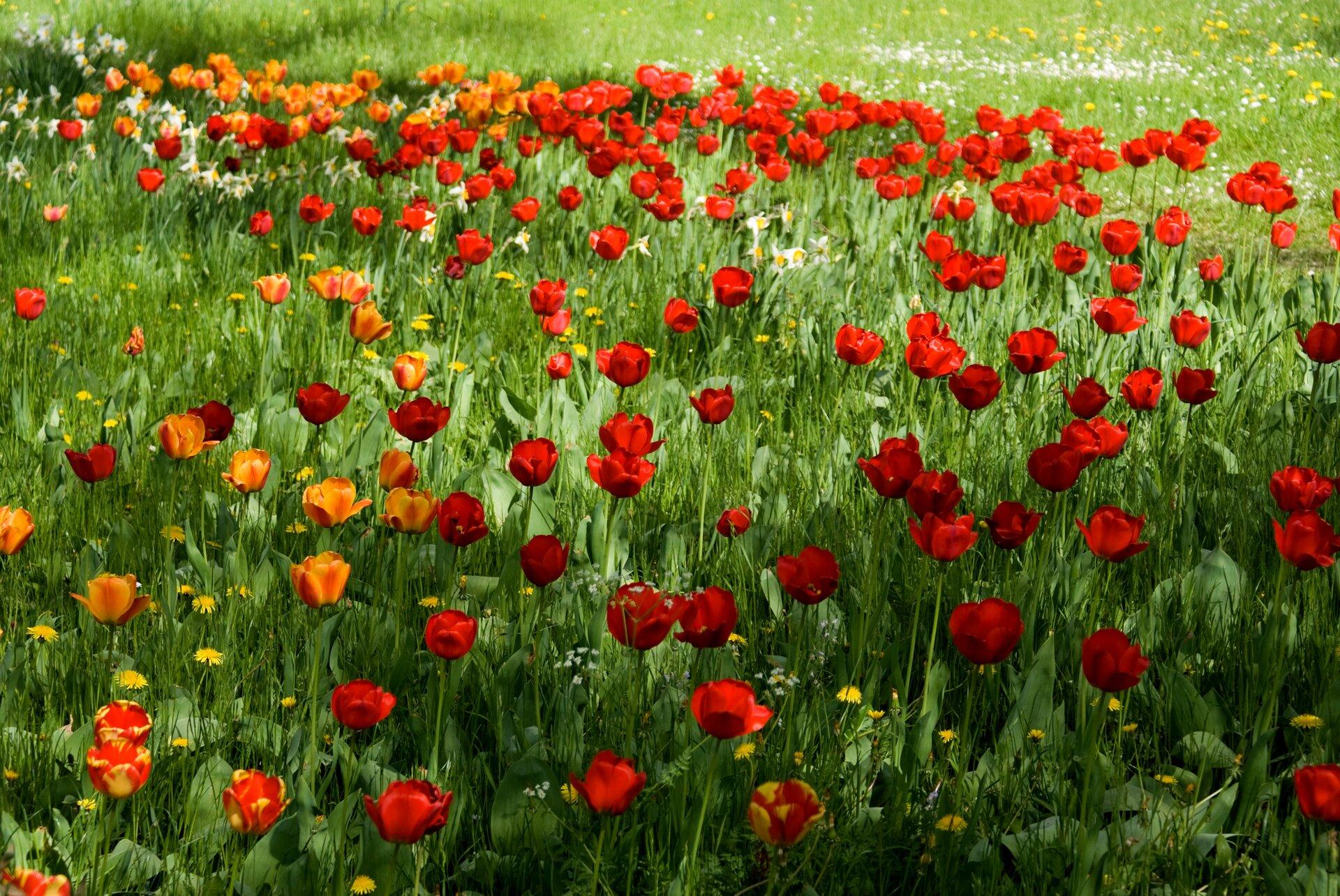 Galeria fotografii prezentuje wybrane rośliny stepów.Fotografia pierwsza prezentuje łąkę, na której rosną wdużych ilościach czerwone igdzieniegdzie żółte tulipany.