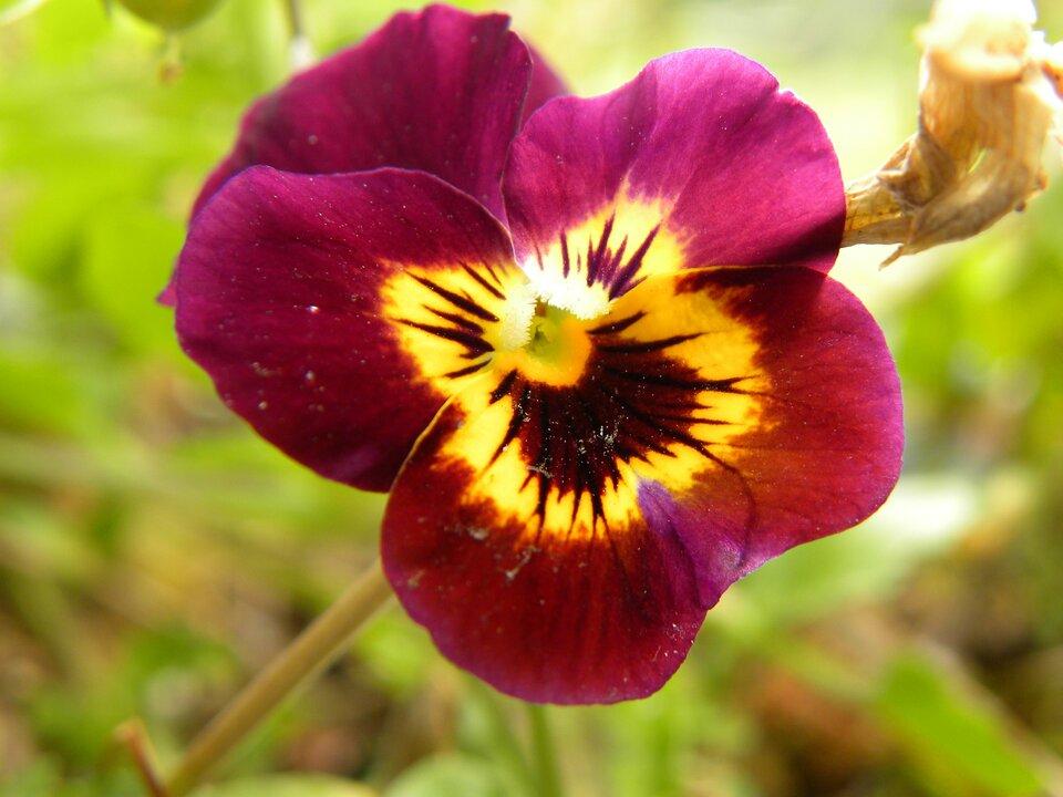 Zdjęcie przedstawia kwiat bratka. Całą przestrzeń zdjęcia zajmują płatki kwiatu. Płatki okalają centralną część kwiatu. Pięć płatków częściowo nachodzi na siebie nawzajem. Krawędzie płatków są zaokrąglone. Płatki podzielone są kolorystycznie na dwie części. Część zewnętrzna bordowo fioletowa. Wewnętrzna część płatków żółta. Żółta część płatków jest pokryta ciemnymi bordowymi smugami. Smugi szersze wokół środka kwiatu, rozchodzą się promieniście do połowy płatków tylko na żółtej części płatków.