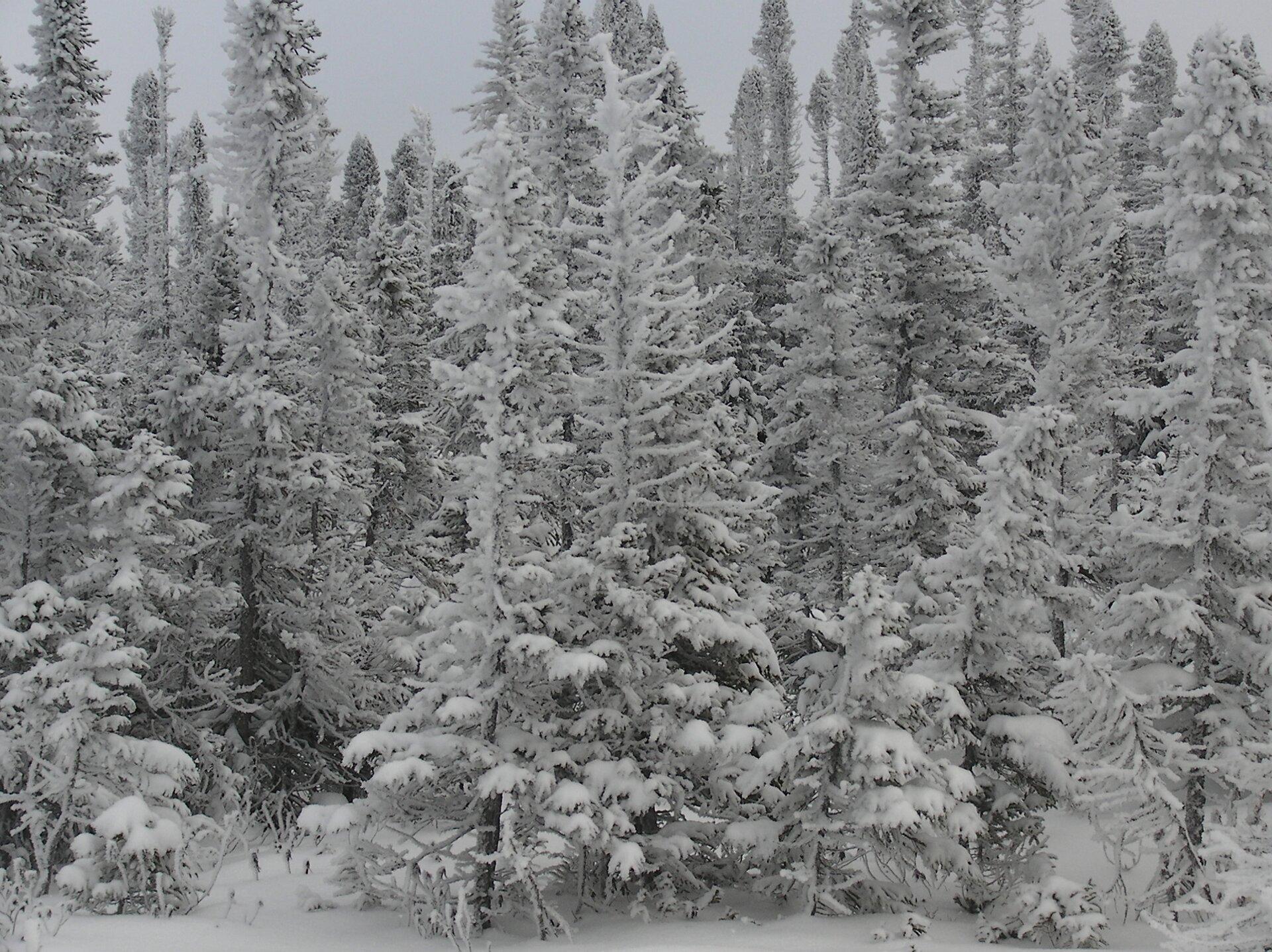 Fotografia prezentuje las świerkowy pokryty śniegiem.