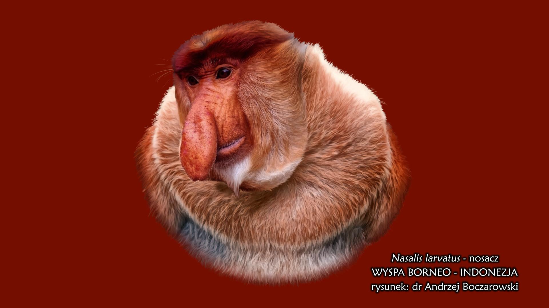 Fotografia nosacza. Małpa ma głowę odużym nosie wkształcie ogórka. Ciało pokryte jasnobrązowymi włosami, jedynie głowa jest ruda.