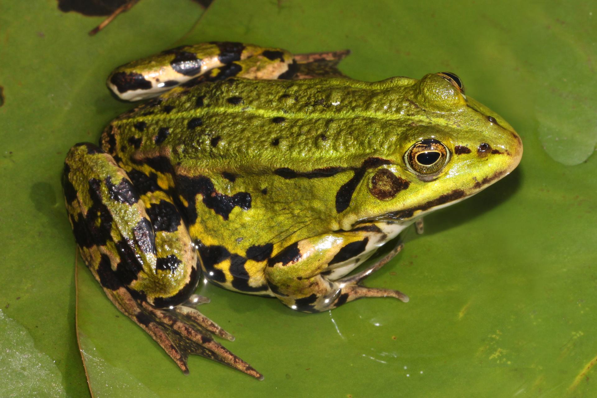Fotografia przedstawia zgóry zbliżenie zielonej żaby wodnej, siedzącej na liściu wwodzie. Głowa wprawo, zwypukłymi oczami, ciemnymi otworami nozdrzy ijednym otworem usznym. Na grzbiecie skóra chropowata, ma liczne brodawkowate zgrubienia zciemnym szczytem. Wzdłuż grzbietu jasna linia kręgowa wyznacza oś symetrii ciała. Na boku ina kończynach czarne, nieregularne plamy. Pace brązowe, zniewielka błoną pławną.