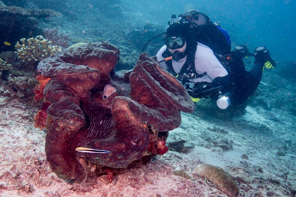 Fotografia przedstawia morskie dno. Na pierwszym planie znajduje się fioletowy małż przydacznia olbrzymia zuchyloną muszlą. Żyje wPacyfiku iOceanie Indyjskim. Za nią nurek wbiało – czarnym stroju, zbutlą iwokularach.