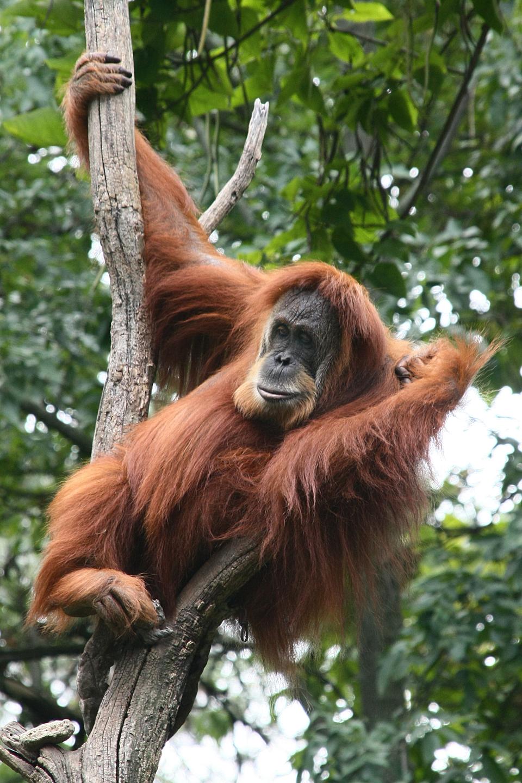 Fotografia przedstawia rudego orangutana, siedzącego przodem wrozwidleniu uschniętego drzewa. Zwierzę ma czarną twarz zlekko wysuniętym, zaokrąglonym pyskiem. Prawą ręką wyżej trzyma się jednego pnia, lewą ma założoną na drugim pniu. Nogi zwinięte pod tułowiem, palce jednej przytrzymują część pnia.