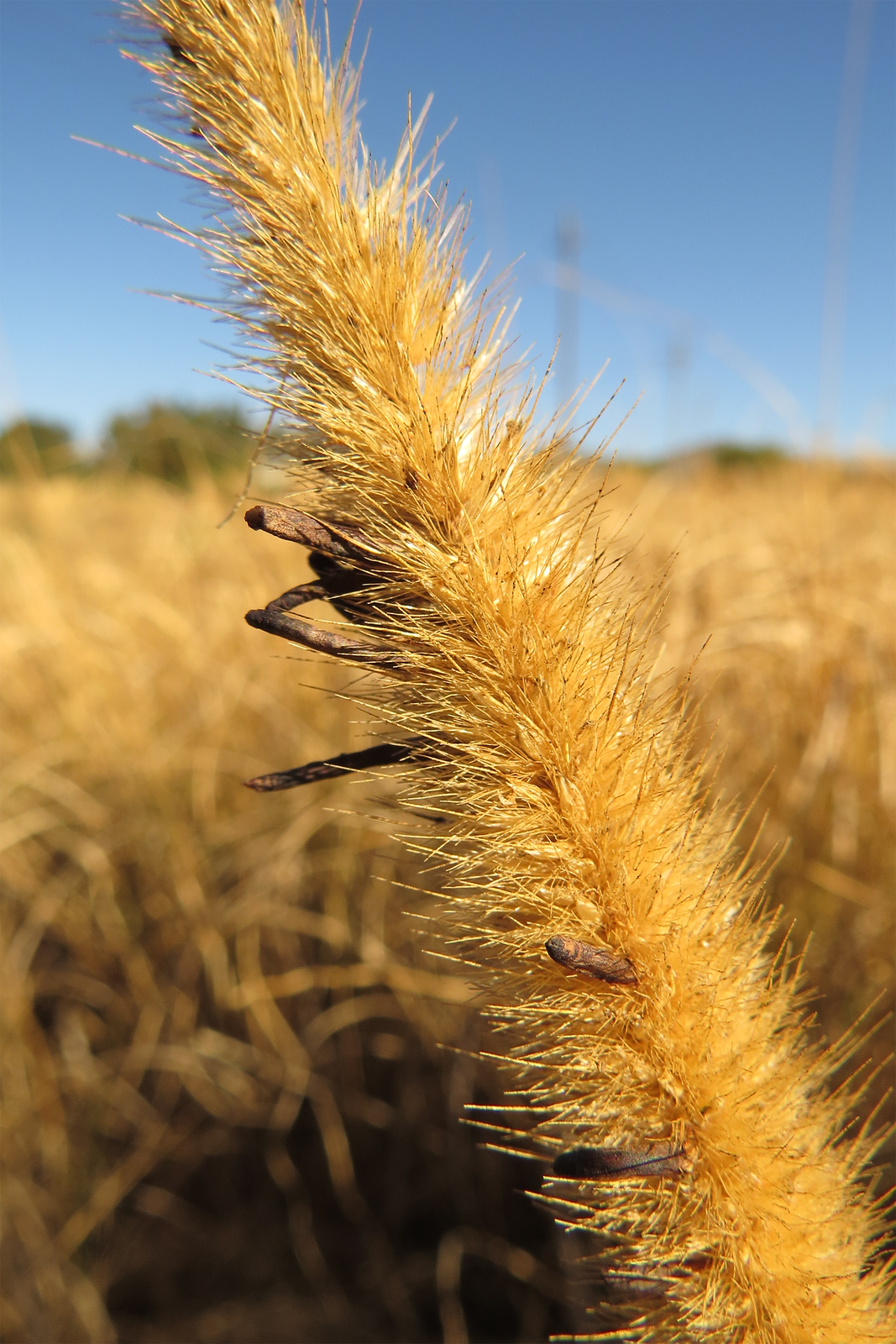 Fotografia przedstawia zbliżenie żółtego kłosa na tle pola. Po lewej stronie między łuskami znajdują się ciemne, wydłużone kształty. To sporysz, czyli forma przetrwalnikowa grzyba buławinki czerwonej. Poraża ona kwiatostany traw izbóż.