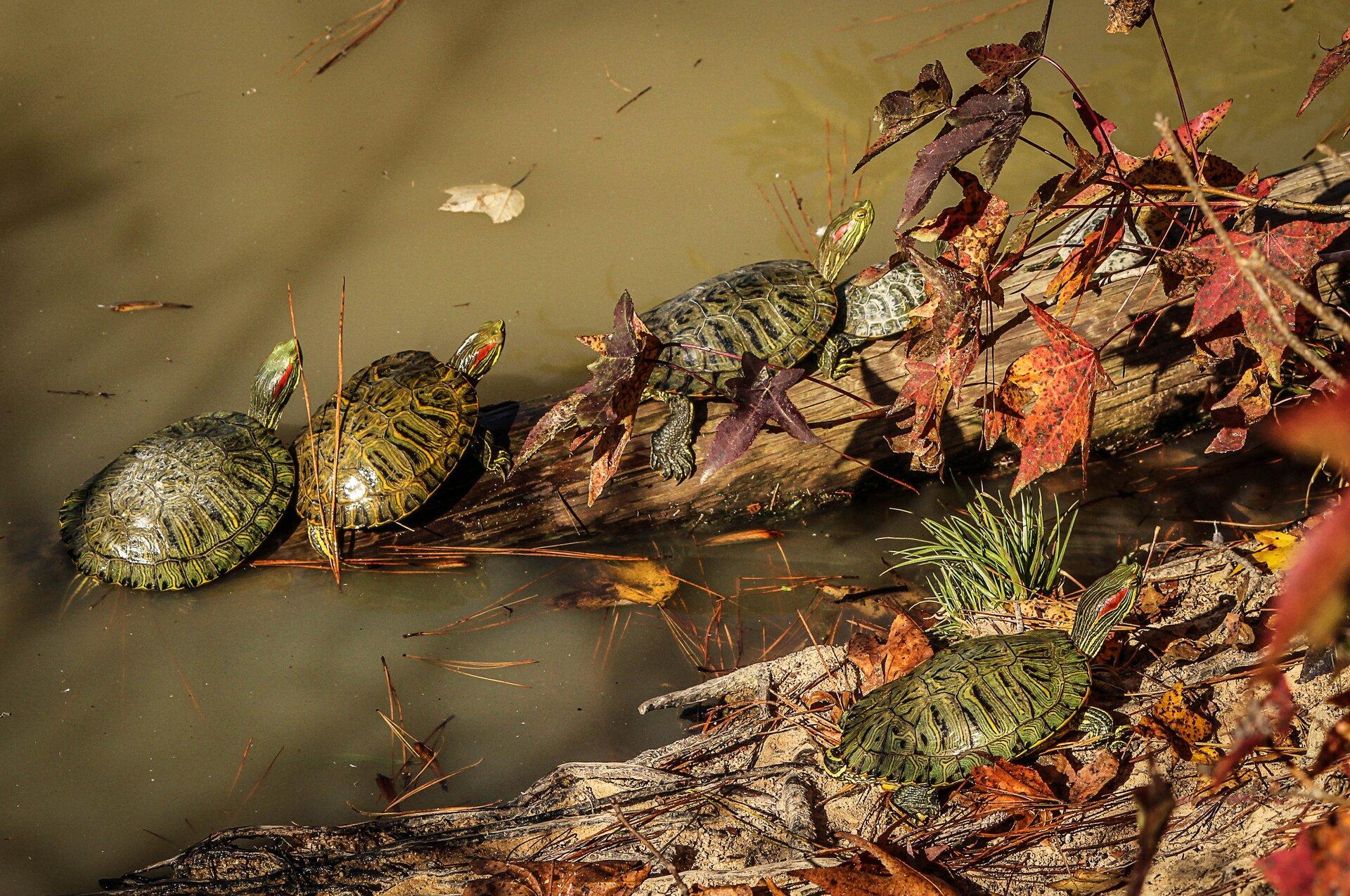 Żółwie - fotografia do galerii Źródło: licencja: CC 0.