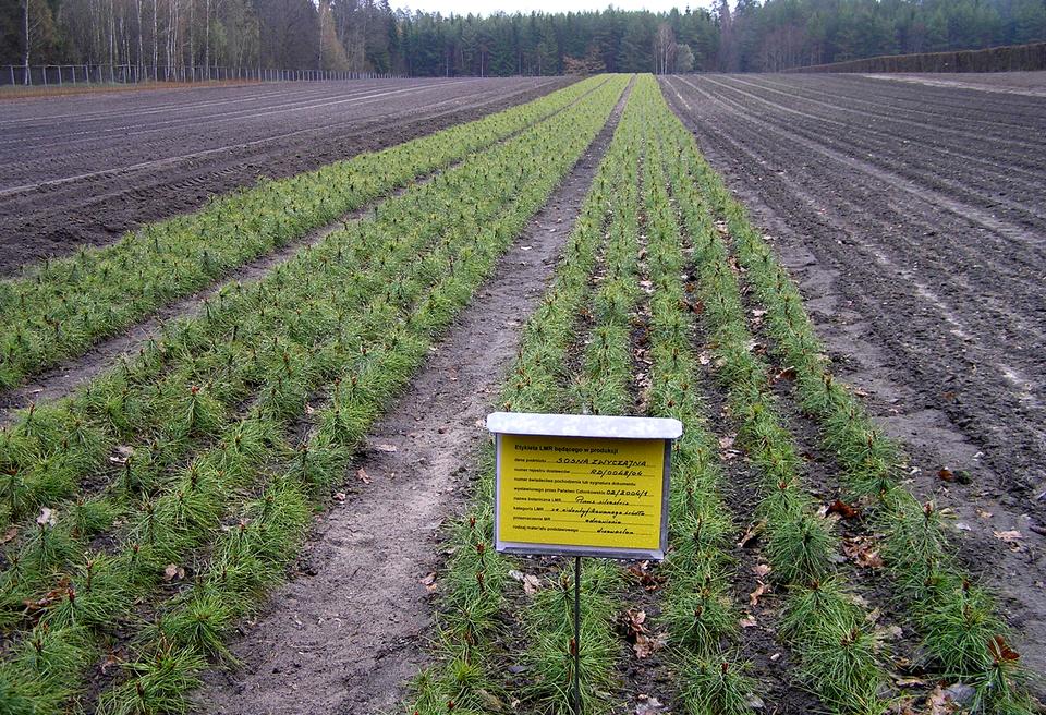 Fotografia prezentuje szkółkę leśną. Na fotografii widoczne grządki zposadzonymi małymi sadzonkami sosny. Zprzody uprawy znajduje się żółta tabliczka informacyjna.