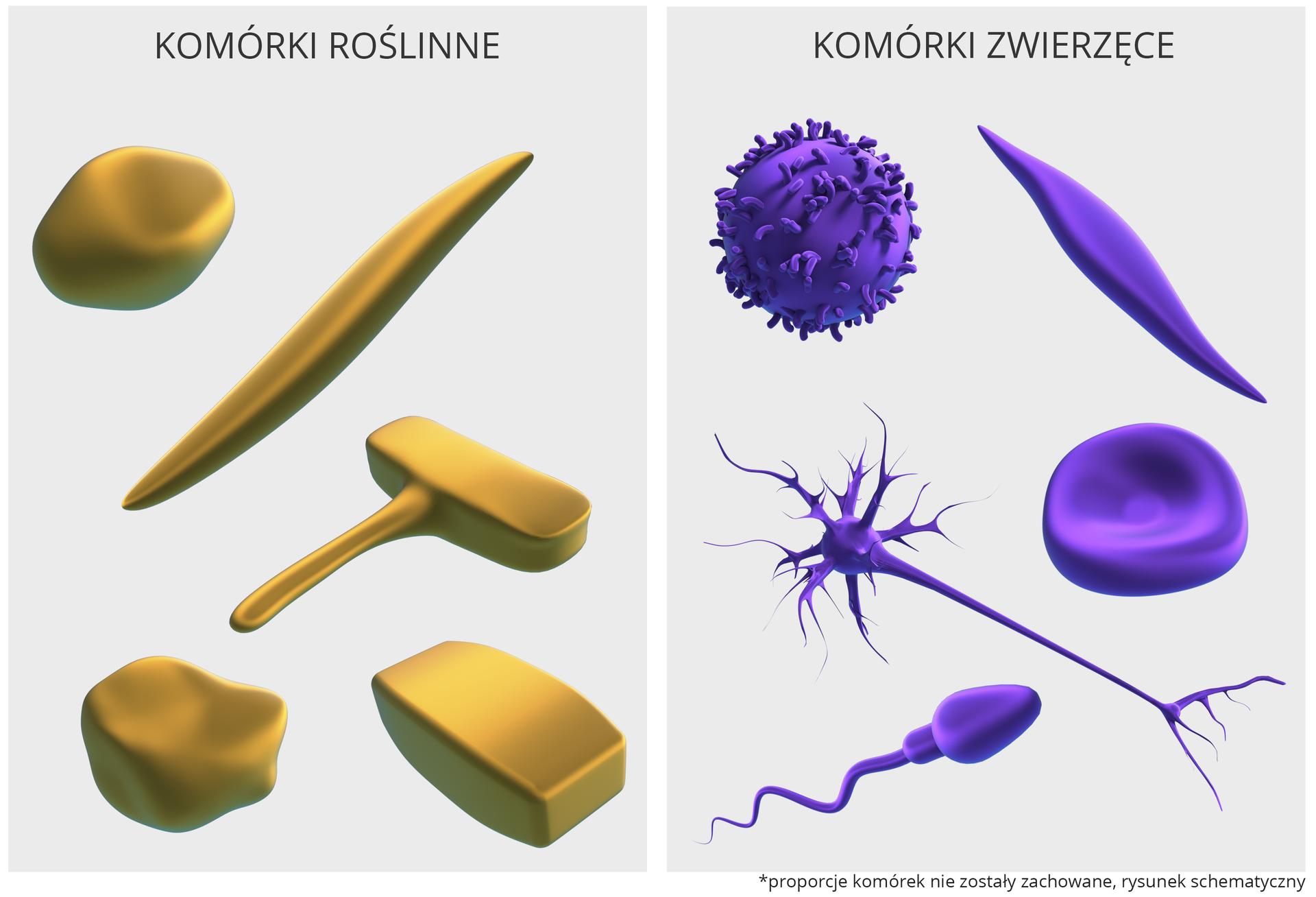 Ilustracja przedstawia dwie plansze zobrazami różnych kształtów komórek. Po lewej znajduje się plansza, przedstawiająca wkolorze brązowym komórki roślinne. Po prawej znajduje się plansza, przedstawiająca wkolorze fioletowym komórki zwierzęce.