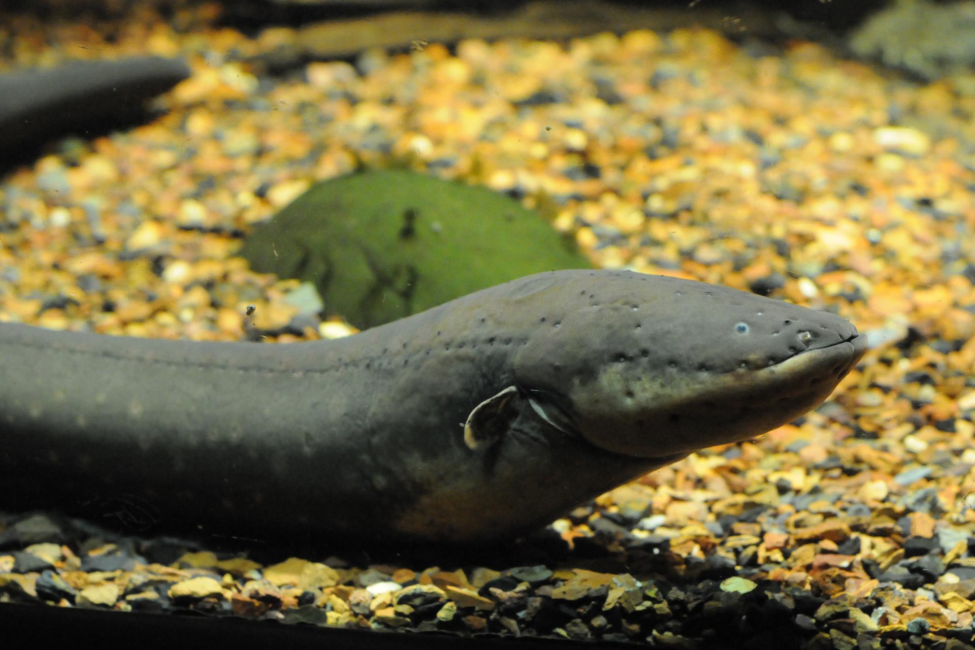Zdjęcie przedstawiające węgorza elektrycznego. Zwierzę ma ciało wąskie, długie iwalcowate. Głowa jest szeroka. Oczy małe. Na ciele widoczne drobne wgłębienia. Ciało jest szare, na spodzie żółte.