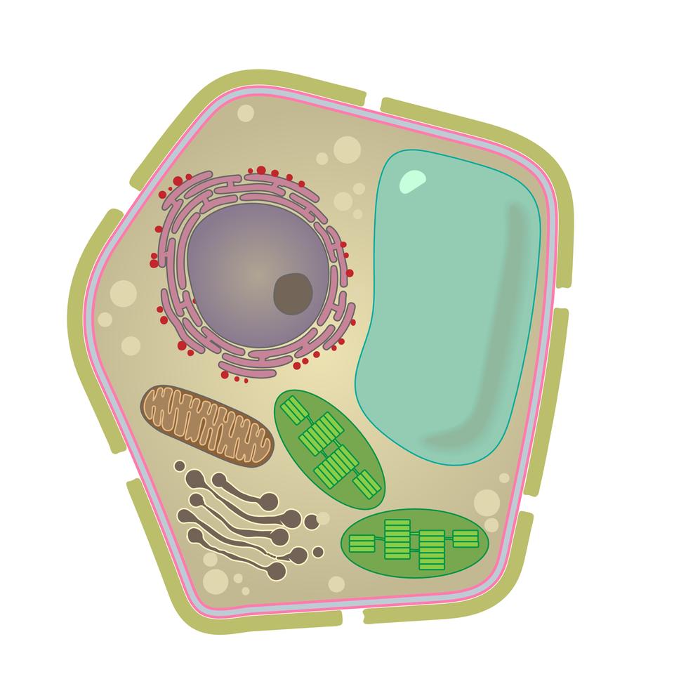 Ilustracja przedstawia komórkę otoczoną ścianą komórkową.