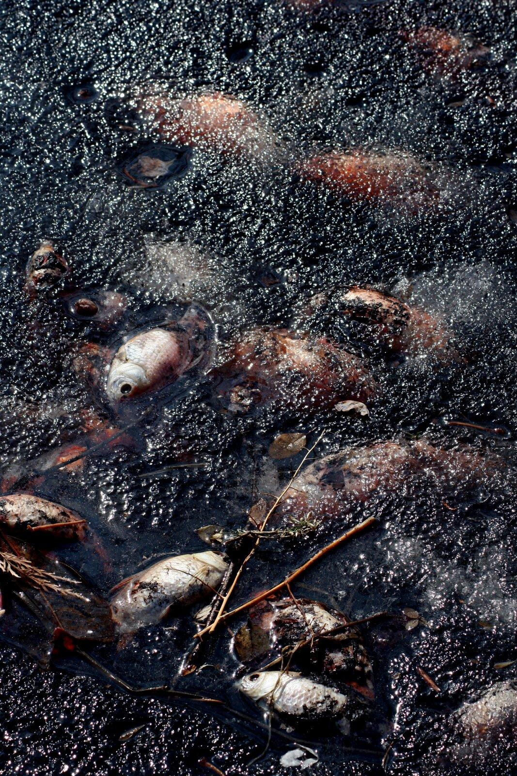 Fotografia prezentuje martwe ryby wystające spod lodu.