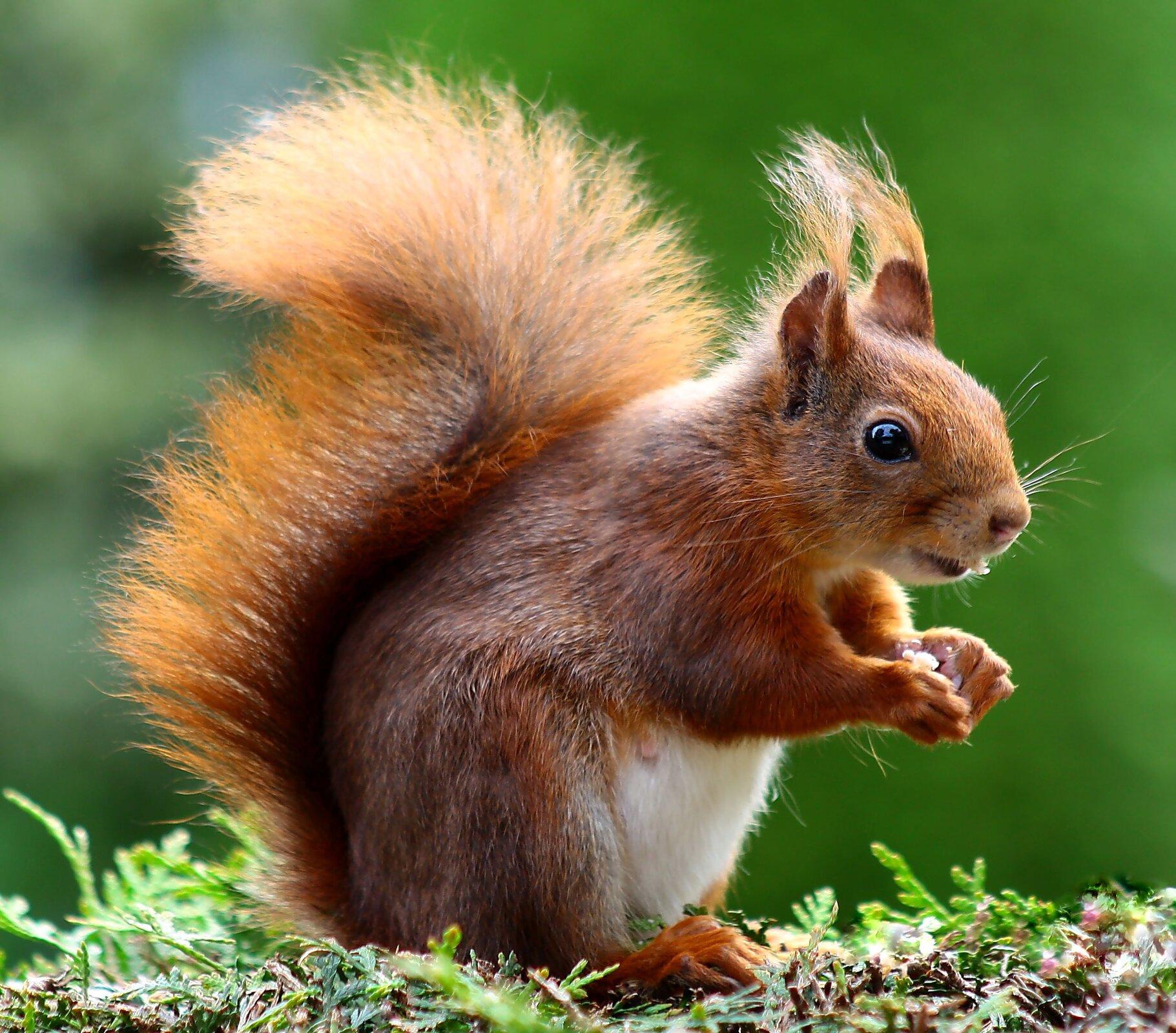 Wiewiórka. Zwierzę pkryte jest rudym futrem. Ogon długi, puszysty, podniesiony do góry.