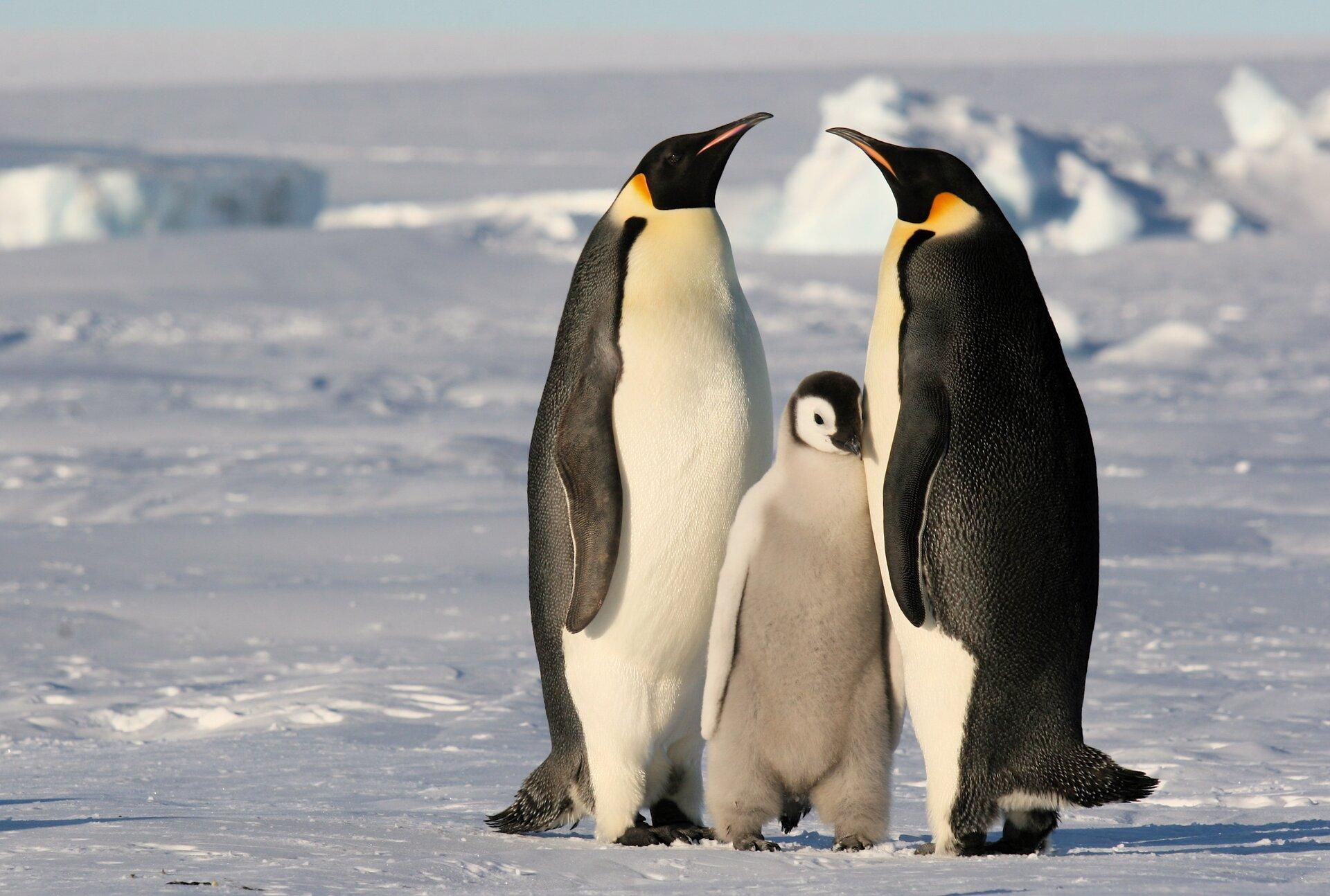 Fotografia prezentuje rodzinę pingwina cesarskiego. Widoczne są dwa dorosłe pingwiny oraz mały pingwin stojący pomiędzy nimi. Pingwiny dorosłe mają czarną głowę, grzbiet icały tył ciała. Na policzku biało-pomarańczową plamę. Zprzodu są białe. Mały pingwin ma tylko czarny pasek od dzioba po tył głowy, poza tym jest biały. Pingwiny stoją na płaskim pokrytym śniegiem terenie.