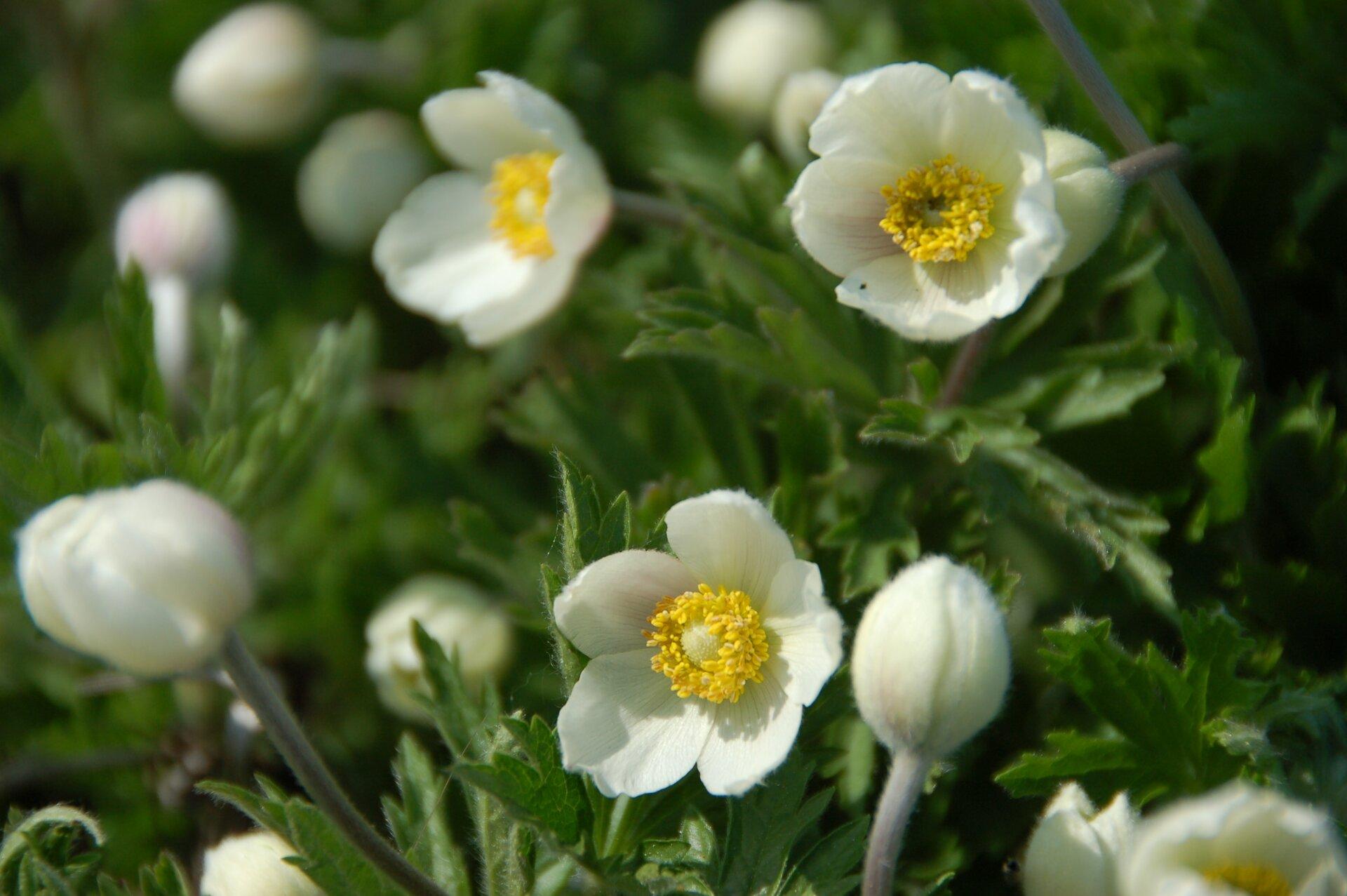 Fotografia przedstawia wdużym zbliżeniu kilka łodyżek zawilca wielkokwiatowego. Jego duże, czysto białe kwiaty mają wsrodku wieniec żółtych pręcików.
