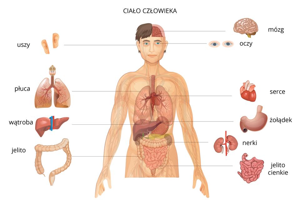 Schemat przedstawiający najważniejsze narządy wciele człowieka: mózg, oczy, serce, żołądek, nerki, jelito cienkie, uszy, płuca, wątroba, jelito