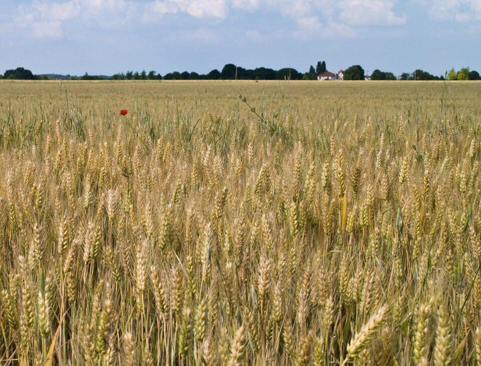 Na zdjęciu pole pszenicy.