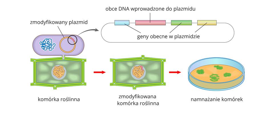 Ilustracja przestawia od góry komórkę bakterii ipowiększenie fragmentu jej kolistego plazmidu. Kolorem różowym oznaczono wnim obce DNA. Bakteria styka się udołu zkomórką roślinną. Strzałka wprawo na kolejnym rysunku wskazuje, że obce DNA zostało wbudowane wgenom rośliny. Po prawej ukazano szalkę zpomarańczową pożywką, na której znajdują się zielone skupienia komórek. Ta metoda przenoszenia materiału genetycznego nazywa się agroinfekcją.