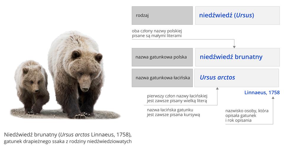 Ilustracja przedstawia zasady tworzenia nazw gatunkowych. Ilustracja składa się zdwóch elementów. Elementy ułożone jeden nad drugim. Na górze informacja: niedźwiedź brunatny, wnawiasie okrągłym Ursus arctos Linnaeus, rok tysiąc siedemset pięćdziesiąty ósmy, gatunek drapieżnego ssaka zrodziny niedźwiedziowatych. Poniżej schemat. Główne elementy schematu na czarno iniebiesko. Dodatkowe informacje na zielono. Po lewej napis: rodzaj. Na prawo niebieski napis: niedźwiedź, wnawiasie okrągłym Ursus. Poniżej, po lewej, napis: nazwa gatunkowa polska. Na prawo napis: niedźwiedź brunatny. Powyżej objaśnienie: oba człony nazwy polskiej pisane są małymi literami. Poniżej napis: nazwa gatunkowa łacińska. Po prawej napis: Ursus arctos. Poniżej wyrazu Ursus objaśnienie: pierwszy człon nazwy łacińskiej jest zawsze pisany wielką literą. Poniżej wyrazu arctos objaśnienie: nazwa łacińska gatunku jest zawsze pisana kursywą. Na prawo wyraz Linnaeus, tysiąc siedemset pięćdziesiąt osiem. Powyżej objaśnienie: nazwisko odkrywcy gatunku irok odkrycia.Poniżej schematu zdjęcie niedźwiedzicy zniedźwiadkiem. Niedźwiedzica dwa razy większa od niedźwiadka. Niedźwiadek po lewej stronie niedźwiedzicy. Niedźwiedzica iniedźwiadek poruszają się wstronę obserwatora zdjęcia. Głowy niedźwiedzi skierowane wdół. Uszy małe. Oczy ciemne, małe. Długi pysk zakończony czarnymi nozdrzami. Na końcach łap długie pazury.