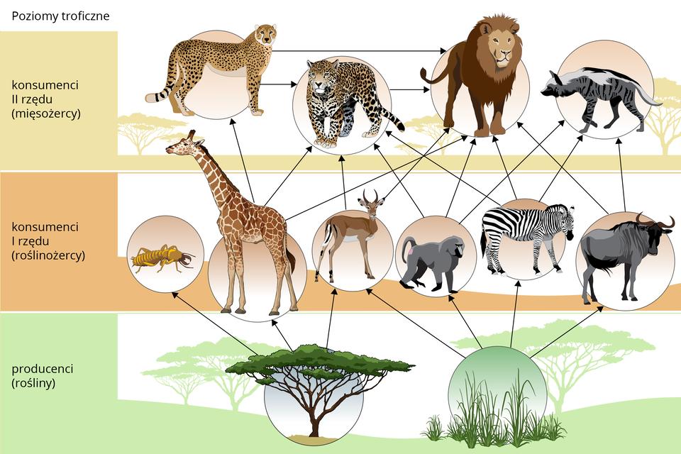 Schemat przedstawia zależności pokarmowe na sawannie wpostaci trzech pasów wróżnym kolorze. Po lewej znajdują się opisy kolejnych poziomów troficznych: od dołu producenci, roślinożercy, mięsożercy. Wkółeczkach przedstawiono wizerunki roślin izwierząt zdanego poziomu. Są one połączone strzałkami, wskazującymi co jest czyim pokarmem.